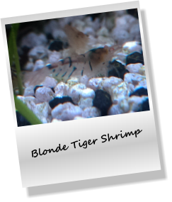 Blonde Tiger Shrimp